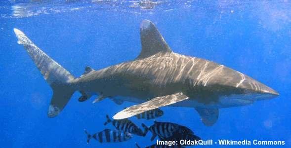 oceanuc whitetip shark