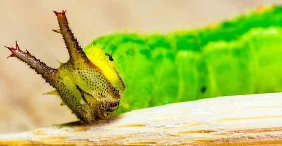 Caterpillar with horn