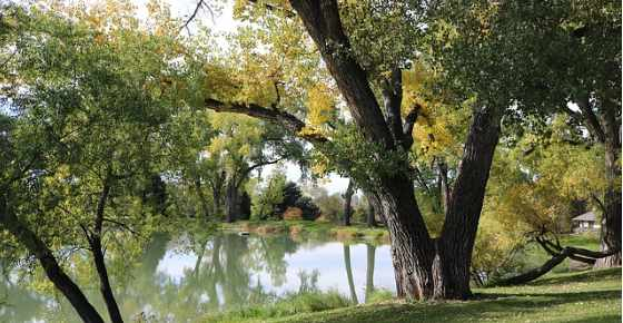 cottonwood trees facts and problems