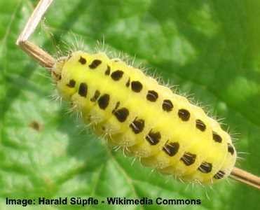 six spot burnet caterpillar