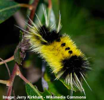 yellow spotted tussock caterpillar